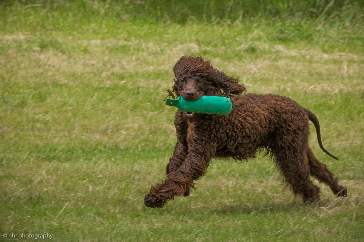 Gailey at SIWSC BC Gundog WT in UK, 3rd of July 2016